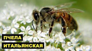 Разведение Итальянской породы пчел как бизнес идея | Пчеловодство | Итальянская пчела