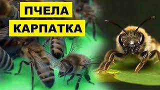 Карпатская пчела | Разведение карпатской породы пчел как бизнес идея | Пчела Карпатка