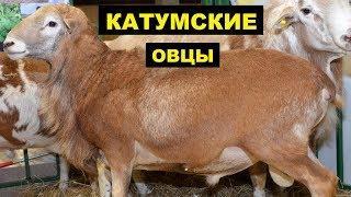 Разведение катумских овец как бизнес идея | Овцеводство | Катумские овцы