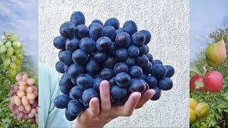 @Новый виноград Посланник от Калугина В М  Отзыв о винограде