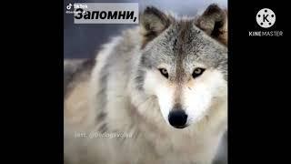 цитаты волка