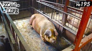 Содержание свиней на резине / Выводы спустя год