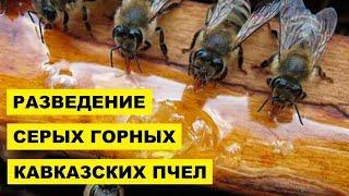 Разведение Серых Горных Кавказских пчел как бизнес идея | Серая горная кавказская пчела